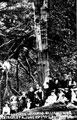 Oak tree at Birley Spa, hit by lightning, 9th June 1907